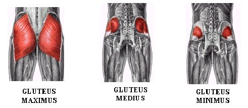 Glute-muscles